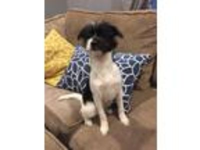 Adopt Creed a Black - with White Shih Tzu / Australian Shepherd / Mixed dog in