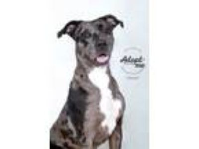 Adopt CoCo a Gray/Blue/Silver/Salt & Pepper Catahoula Leopard Dog / Mixed Breed