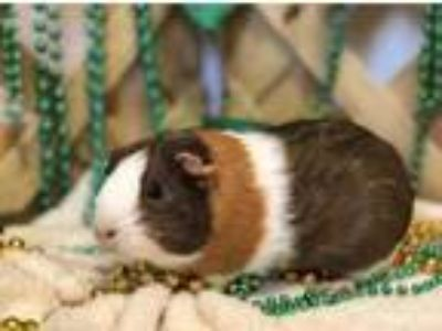 Adopt Mocha a Brown or Chocolate Guinea Pig / Guinea Pig / Mixed small animal in