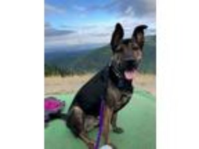 Adopt Berlin a Brindle Dutch Shepherd / Mixed dog in Seattle, WA (22833580)