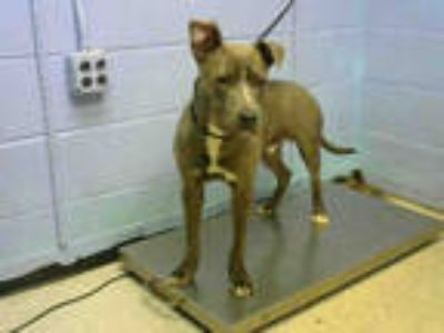 Adopt SAUSAGE a Gray/Silver/Salt & Pepper - with White American Pit Bull Terrier