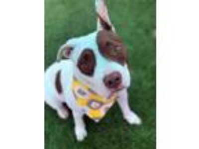 Adopt Nessa a White American Pit Bull Terrier / Mixed dog in Jacksonville