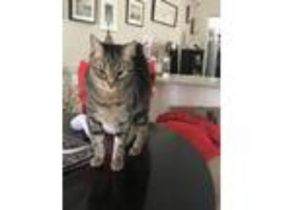 Adopt Captain Tightpants a Brown Tabby American Shorthair / Mixed cat in Fort