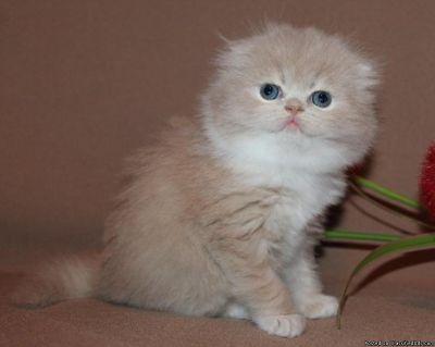 Gorgeous Blue Scottish Fold kittens