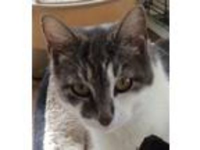 Adopt Gabby a Tabby, Domestic Short Hair