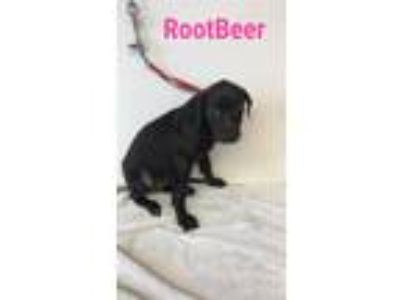 Adopt Rootbeer a Black Labrador Retriever / Mixed dog in Grand Rapids