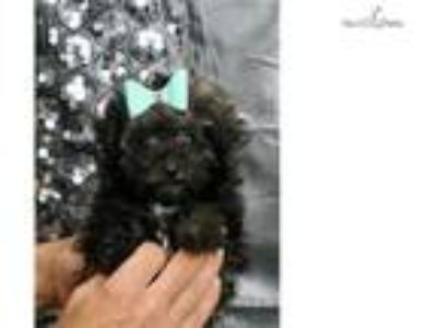 Rory Adorable toy poodle puppy ready to go!