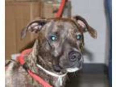 Adopt Javi a Pit Bull Terrier, Mixed Breed