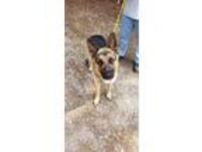 Adopt JAKE a German Shepherd Dog