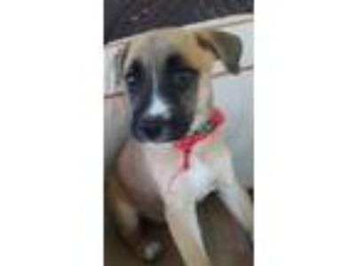 Adopt Almond a Boxer, German Shepherd Dog