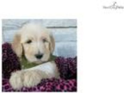 Austin- Gorgeous Goldendoodle Puppy