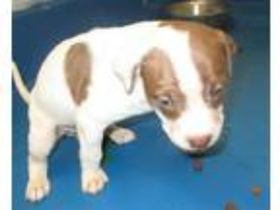 Adopt PUPPY ONE a Pit Bull Terrier