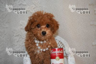 Poodle (Toy) PUPPY FOR SALE ADN-106946 - AKC  FULL REGISTRATION