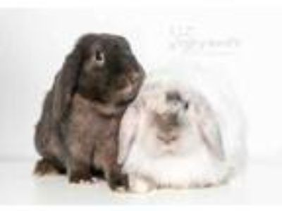 Adopt Thumper a Chocolate Lop-Eared / Lop-Eared / Mixed rabbit in Reisterstown
