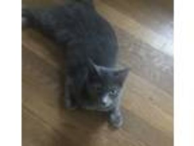 Adopt Grace a Gray or Blue Russian Blue (short coat) cat in York, PA (25594176)