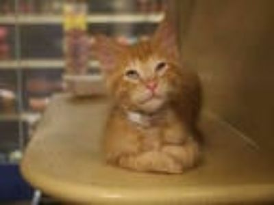 Adopt LEO a Orange or Red Tabby Domestic Shorthair / Mixed (short coat) cat in