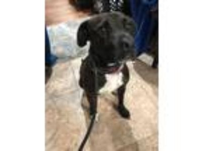 Adopt Benito a White - with Black Terrier (Unknown Type, Medium) / Mixed dog in