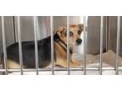 Adopt SHILOH a Black Jack Russell Terrier / Mixed dog in Fort Lauderdale