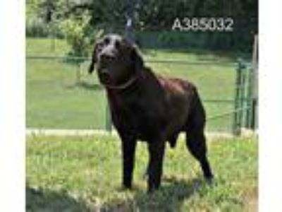 Adopt a Brown/Chocolate - with Black Labrador Retriever / Mixed dog in St.