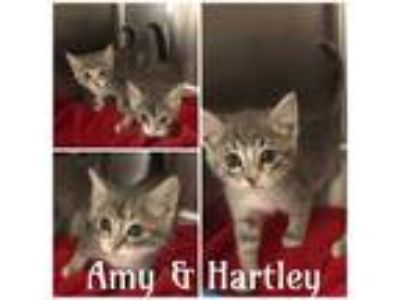 Adopt AMY a Gray or Blue Domestic Shorthair / Mixed (short coat) cat in Macon