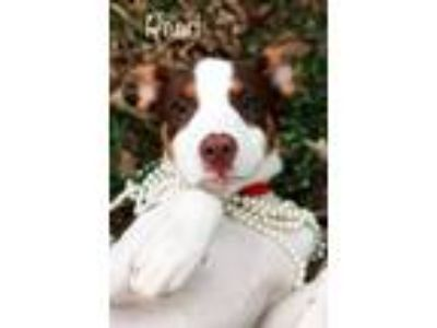 Adopt Pearl a Border Collie, Pit Bull Terrier