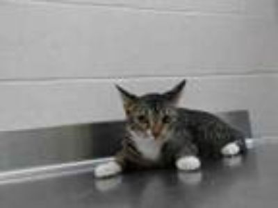 Adopt MITTENS a Bengal, Domestic Short Hair