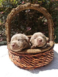 silver lab pups