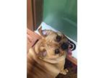 Adopt Pudge a Tan/Yellow/Fawn Pug / Beagle / Mixed dog in Jacksonville