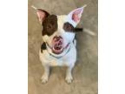 Adopt Cowboy a White American Staffordshire Terrier / Mixed dog in Chicago