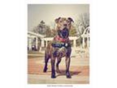 Adopt Lenny a Pit Bull Terrier
