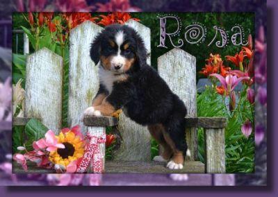 Rosa Female Bernese Mountain Dog AKC