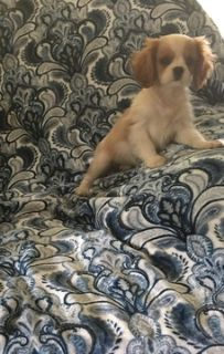 Cavalier King Charles Spaniel PUPPY FOR SALE ADN-45403 - Beautiful Blenheims champion bloodlines
