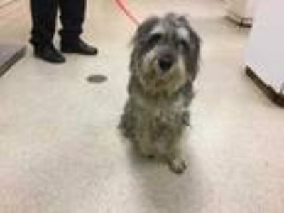 Adopt Dog a Gray/Silver/Salt & Pepper - with White Schnauzer (Standard) / Mixed