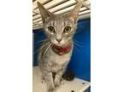 Adopt 41942197 a Domestic Short Hair