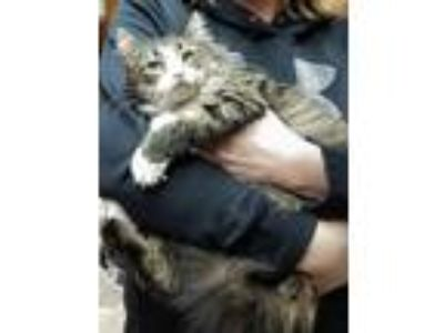 Adopt Sweety Pie a Maine Coon, Domestic Long Hair