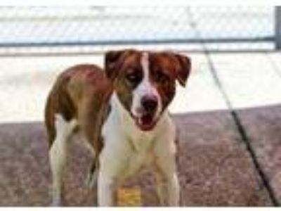 Adopt Stark a Brown/Chocolate Mixed Breed (Large) / Mixed dog in Charleston