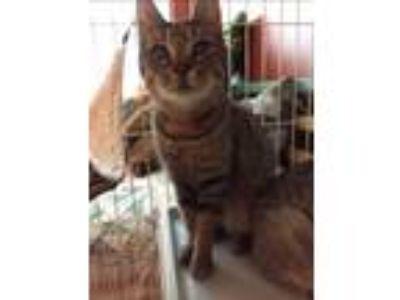 Adopt Eartha Kitten a Domestic Short Hair