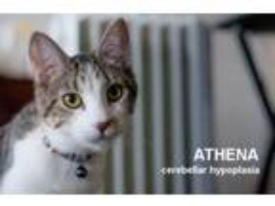 Adopt Athena a Brown Tabby Domestic Shorthair / Mixed (short coat) cat in Santa