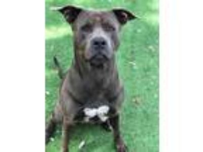Adopt ALEX a Gray/Blue/Silver/Salt & Pepper American Pit Bull Terrier / Mixed