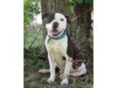 Adopt Trooper a American Staffordshire Terrier