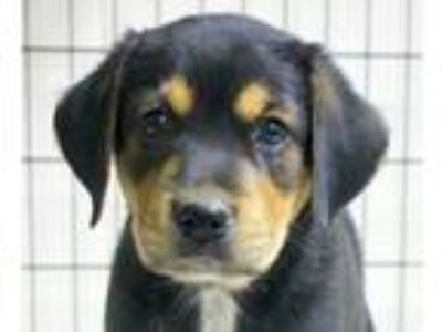 Adopt Comical Coke a Retriever, Beagle
