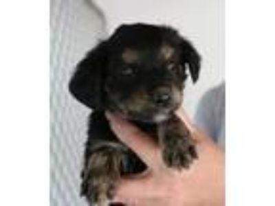 Adopt Prudy - Avail May 25 - CT a Retriever