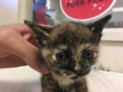 Adopt *GREEN BAND a Tortoiseshell Domestic Shorthair / Mixed (short coat) cat in