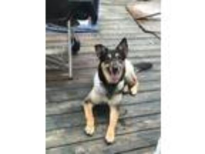 Adopt Toby a Black - with White German Shepherd Dog / Collie dog in Snellville