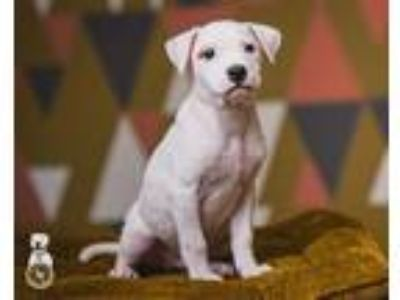 Adopt Arlo a White - with Tan, Yellow or Fawn Pit Bull Terrier / Labrador
