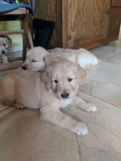Golden Retriever PUPPY FOR SALE ADN-104220 - Male Golden