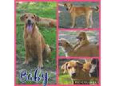 Adopt Baby a Tan/Yellow/Fawn - with White Hound (Unknown Type) / Labrador