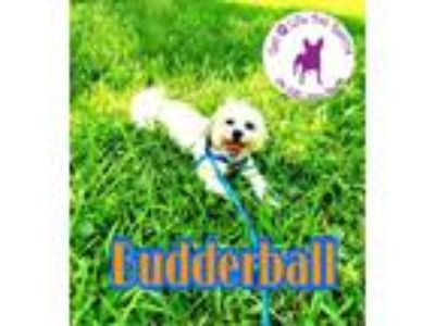 Adopt Budderball a Shih Tzu / Mixed dog in Wellington, FL (25342597)