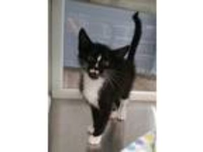Adopt Fisher a Black & White or Tuxedo Domestic Shorthair / Mixed (short coat)