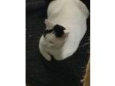 Adopt Susie a Black & White or Tuxedo Domestic Shorthair (short coat) cat in